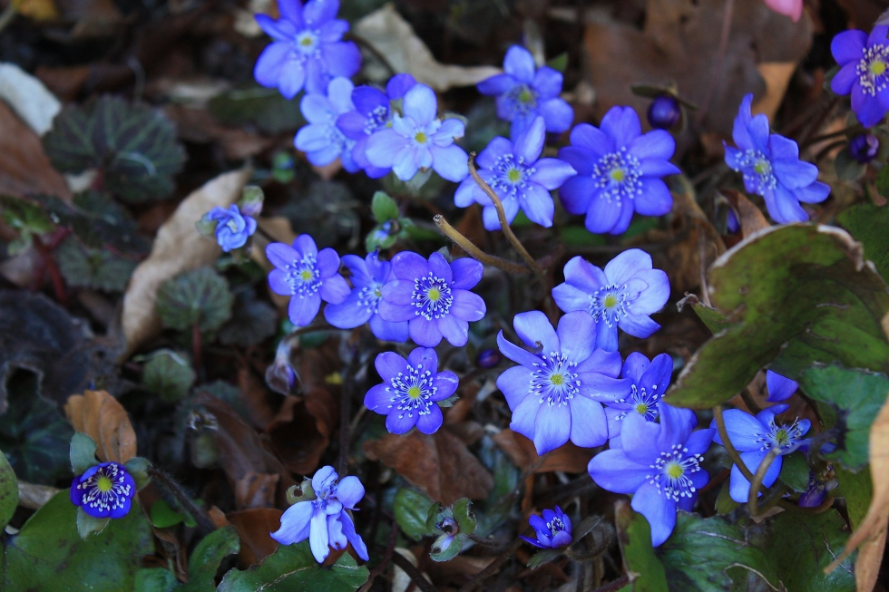 Hepatica transsilvanica, Sheffield Botanical Gardens, March 2014