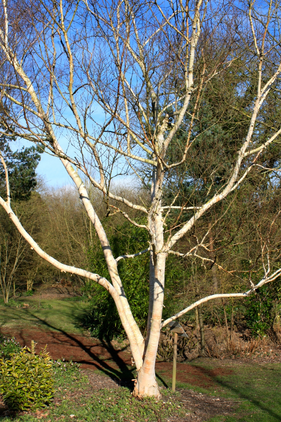 Betula ermanii 'Grayswood Hill', Bluebell Nursery, March 2014
