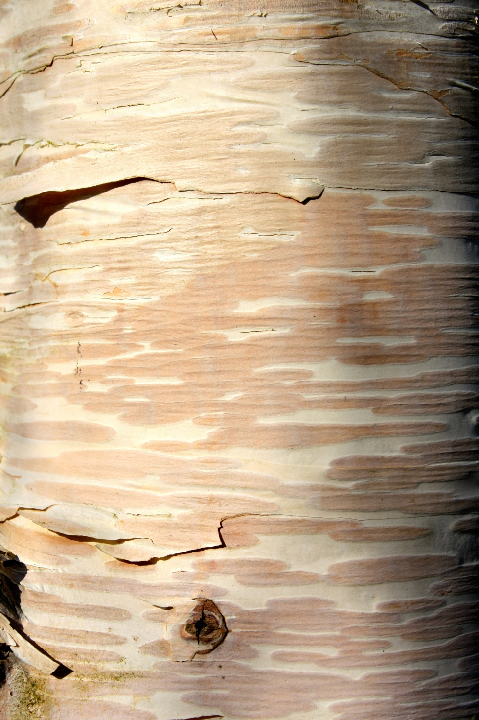 Betula ermanii 'Grayswood Hill' bark, Bluebell Nursery, March 2014
