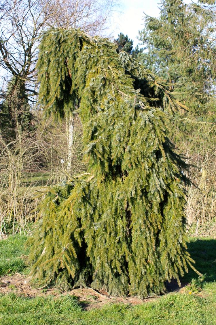 Picea omorika 'Pendula', Serbian Spruce, BlueBell Arboretum, March 2014