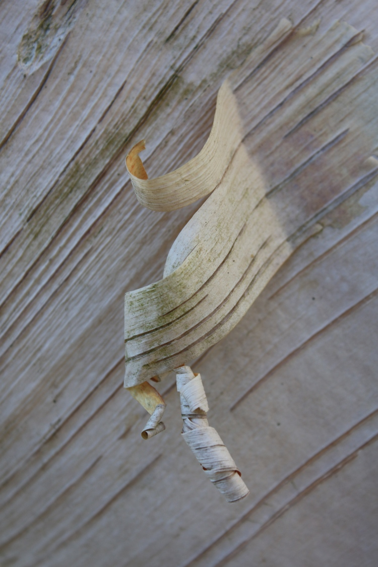 Betula utilis var. jacquemonti 'Jermyns' bark, Bluebell Arboretum,
