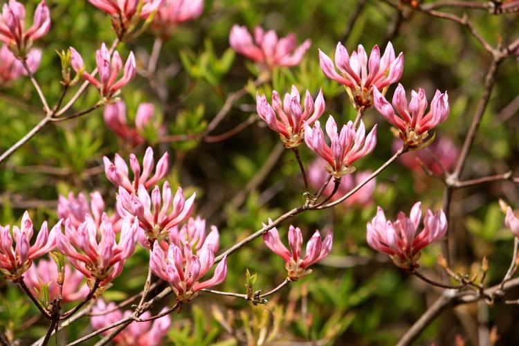 Deciduous azalea buds, Sandling Park, Kent, May 2013