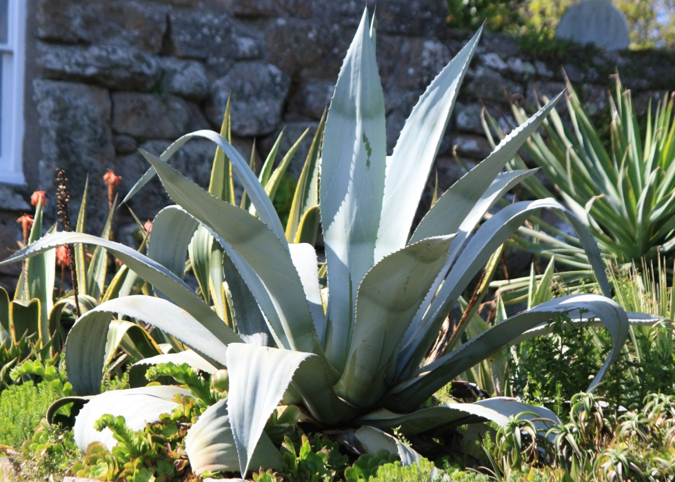 Agave americana, Tresco Abbey Gardens, April 2014