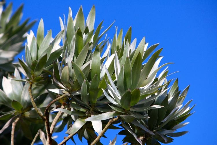 Leucadendron argenteum, Tresco Abbey Gardens, April 2014