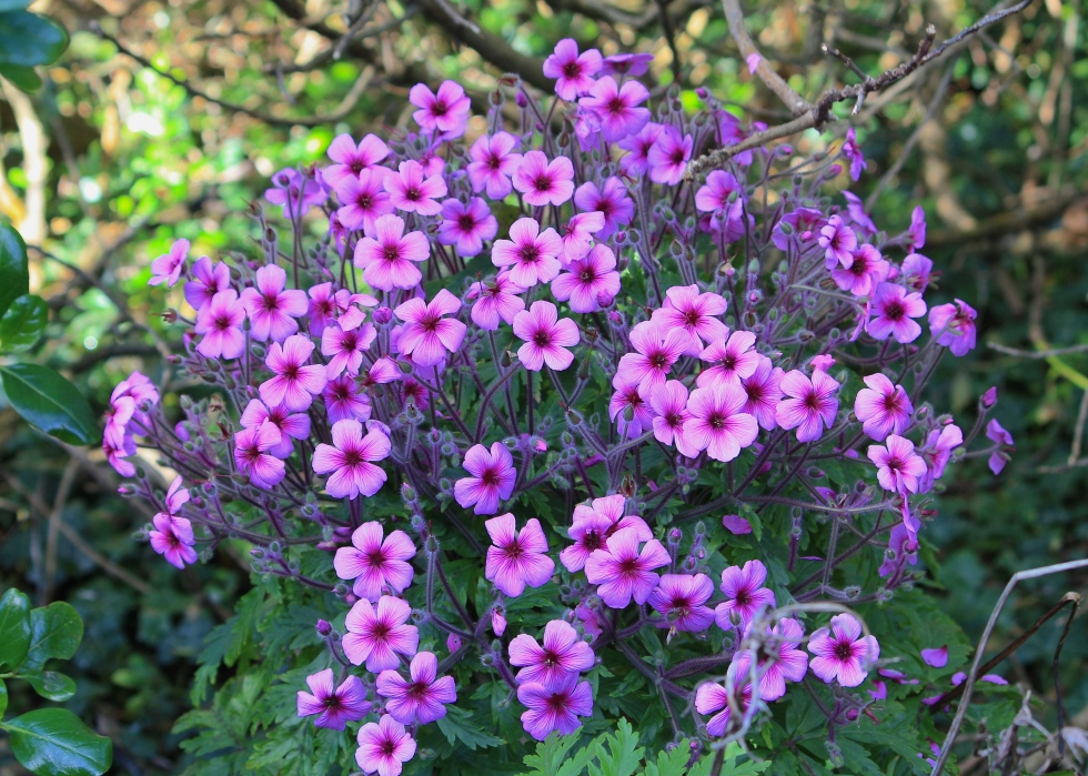 Geranium maderense, Tresco Abbey Gardens, April 2014