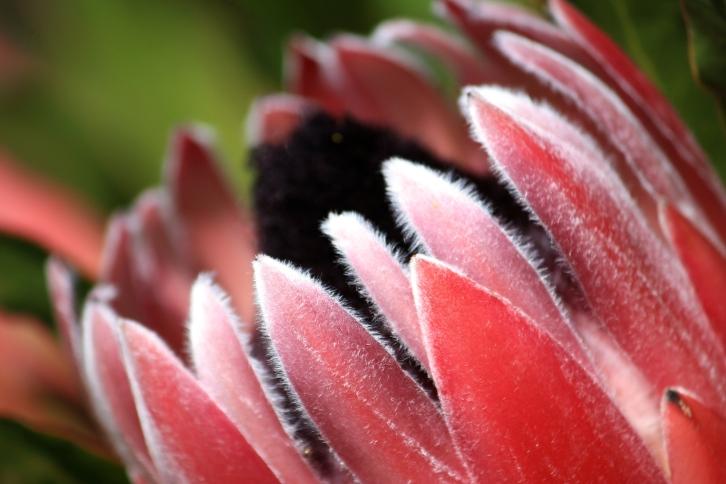Protea longifolia, Tresco Abbey Gardens, April 2014