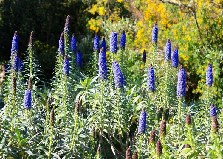Echium candicans has been given an RHS Award of Garden Merit (AGM)