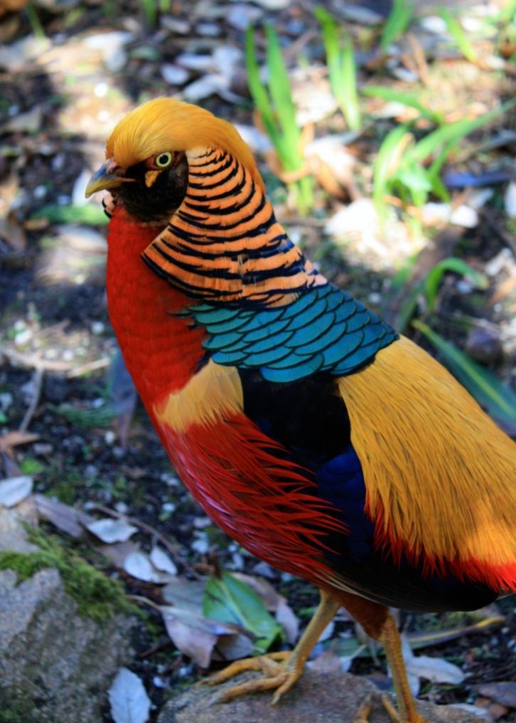 Golden pheasant, Tresco Abbey Gardens, April 2014
