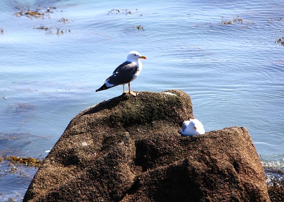 lesser black-backed gull, Tresco, April 2014