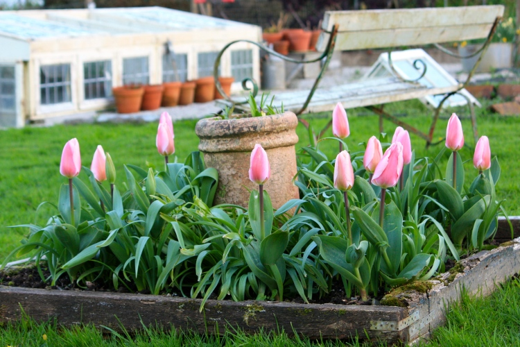 Tulips in the potager at Trevoole, April 2014