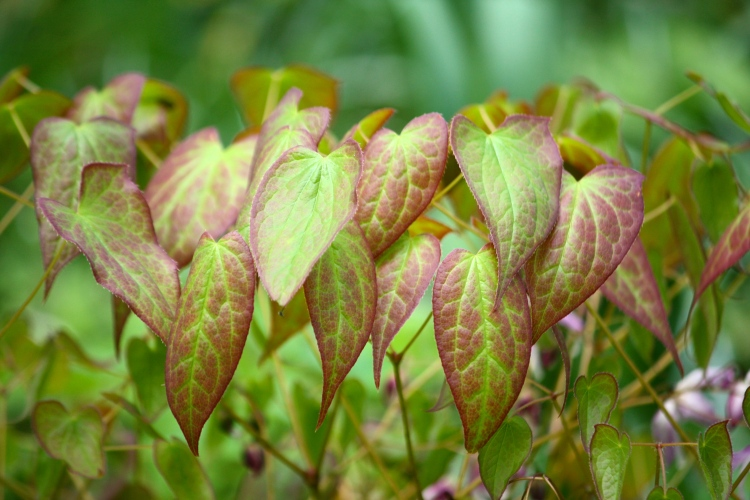 Fresh new epimedium foliage, Bosvigo, April 2014