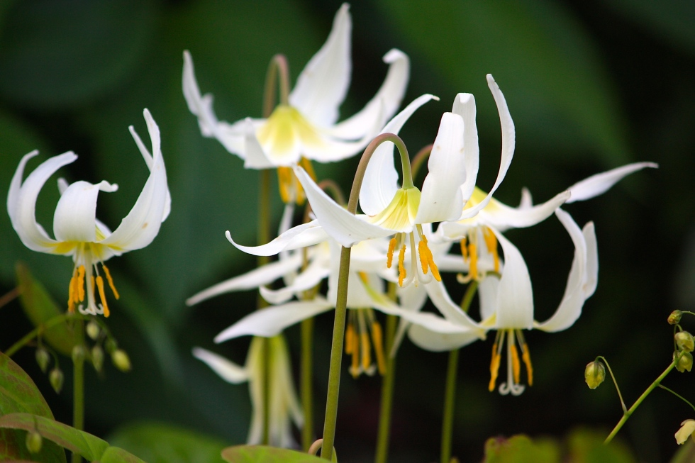 White erythroniums, Bosvigo, April 2014