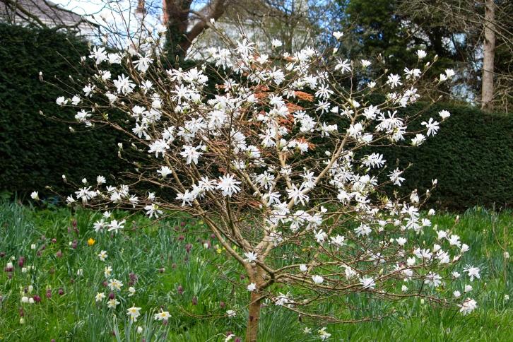 Magnolia stellata, Bosvigo, April 2014