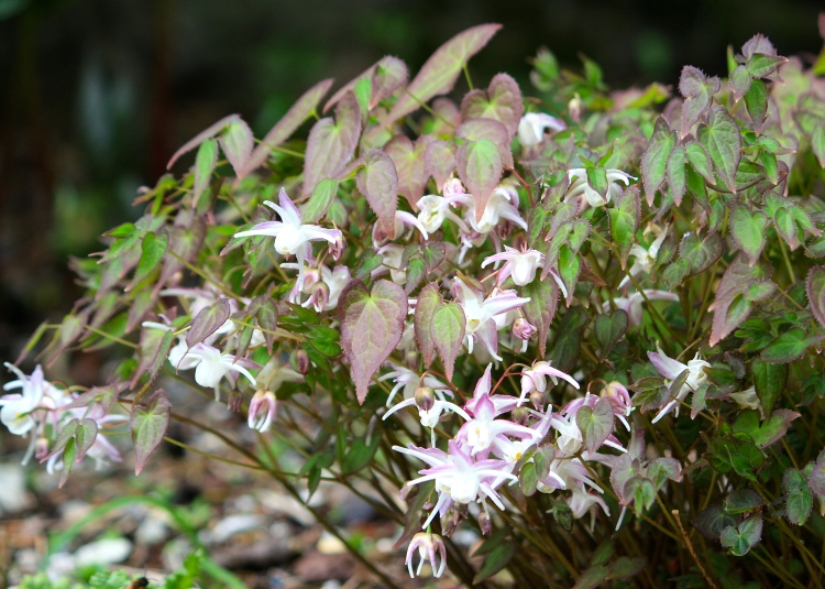 Epimedium, Bosvigo, April 2014