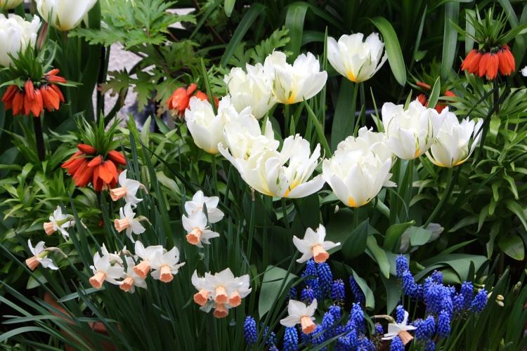 """Tulipa """"Exotic Emperor"""", Narcissus """"Reggae"""" and Fritillaria """"William Rex"""" in 2014"""