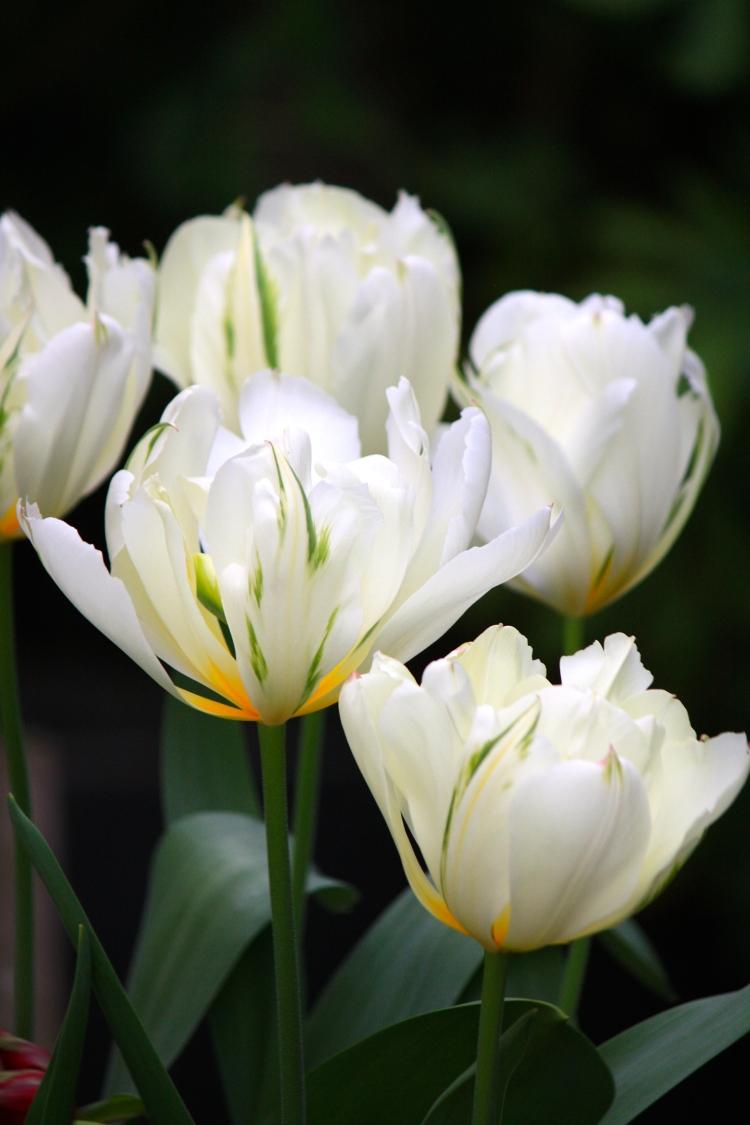 Tulipa 'Exotic Emperor', April 2014