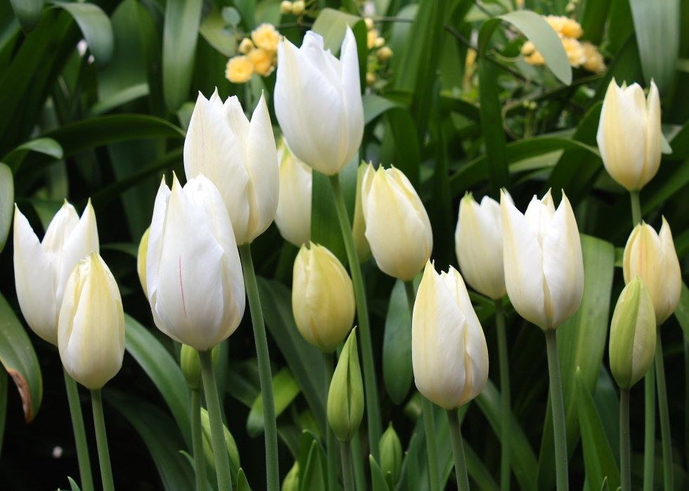 Tulipa 'White Triumphator', April 2014