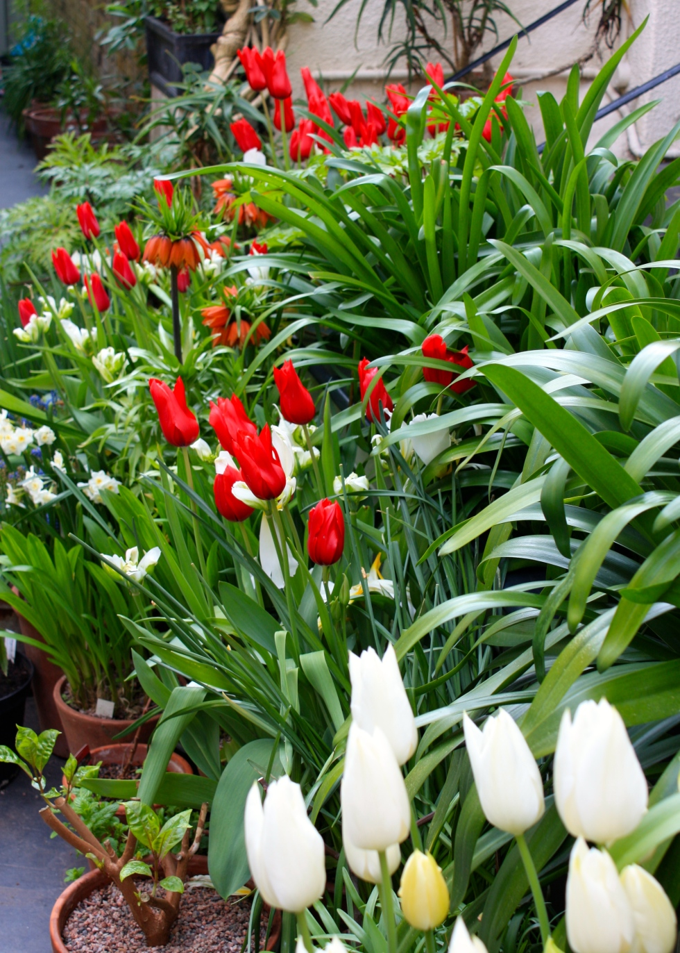 "Tulipa 'Red Shine"" and T. 'White Triumphator', in spring 2014"