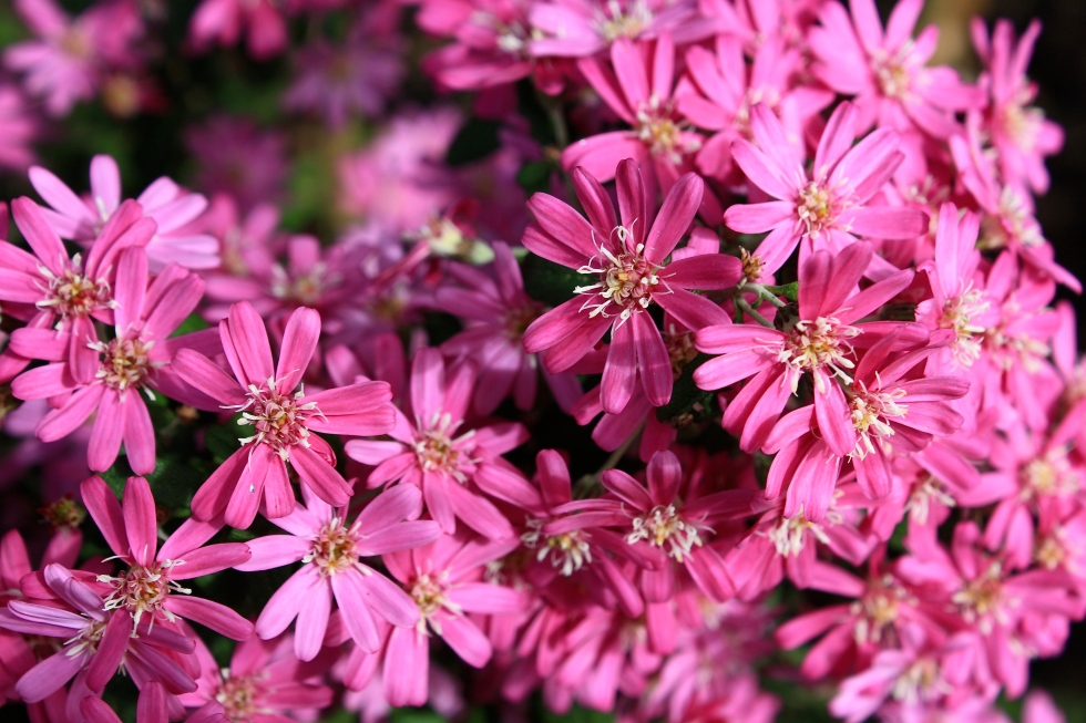 OLEARIA phloggopappa 'Combers Pink', April 2014