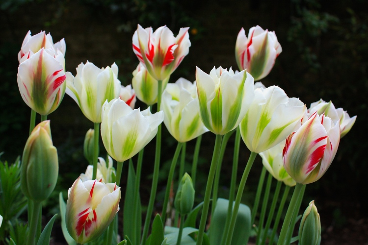 "Tulipa ""Flaming Spring Green"" mixed with T. ""Spring Green"" in our London Garden"