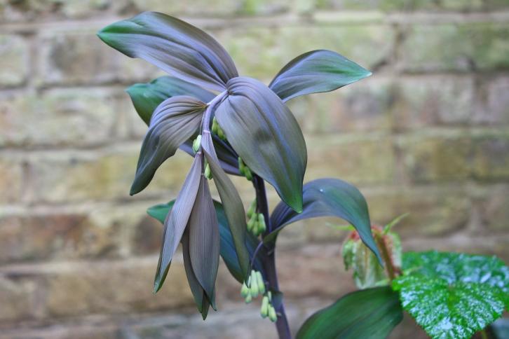 Polgonatum x hybridum 'Betberg, London, April 2014