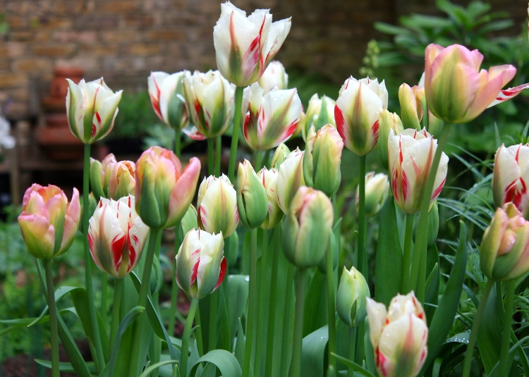 Tulipa 'Spring Green', 'Flaming Spring Green' and 'Greenland', April 2014