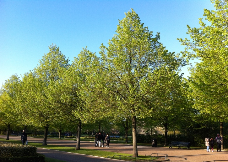 Lime trees coming into leaf, Regent's Park, April 2014