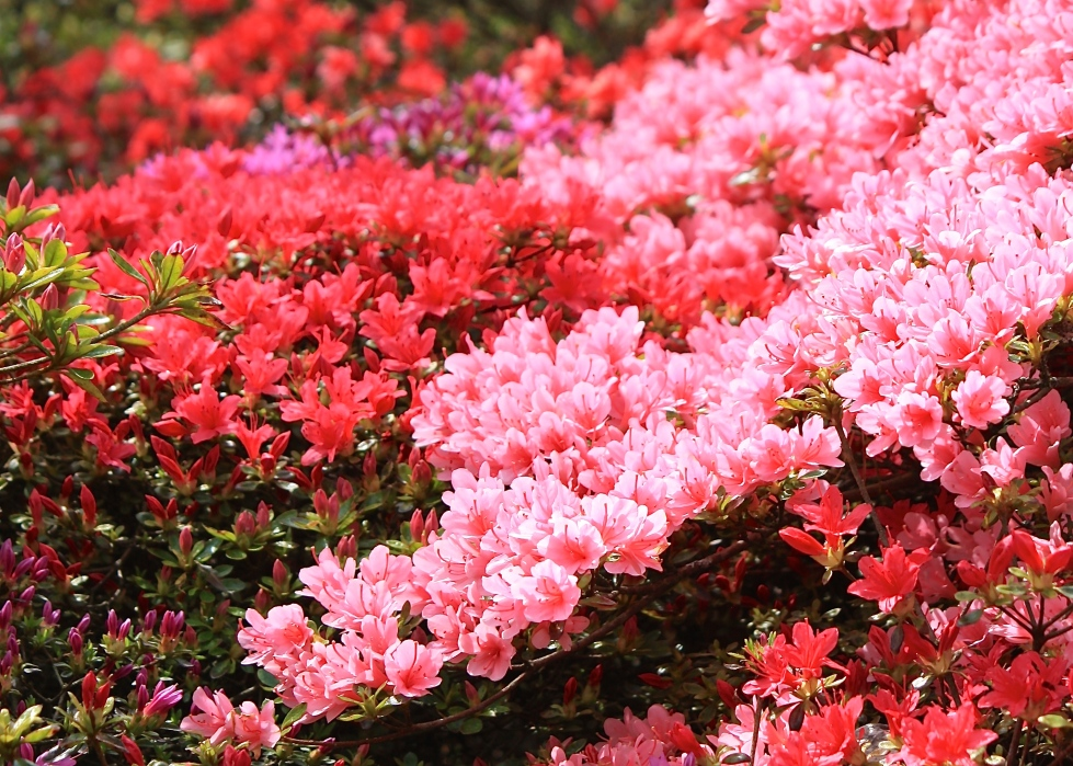 Kurume azaleas at Sandling Park, May 2013