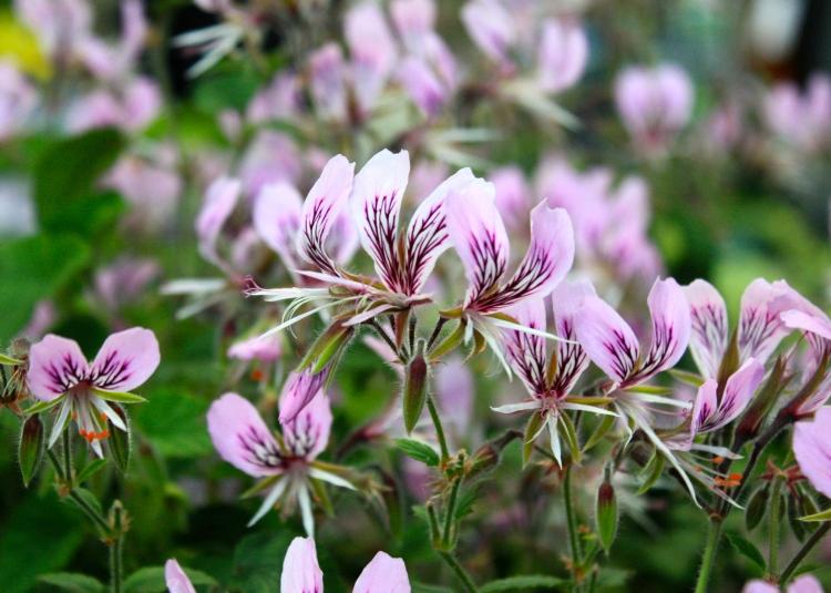 Pelargonium cordifolium rubrocinctum, Fibrex Nursery, RHS Great London Plant Show 2014