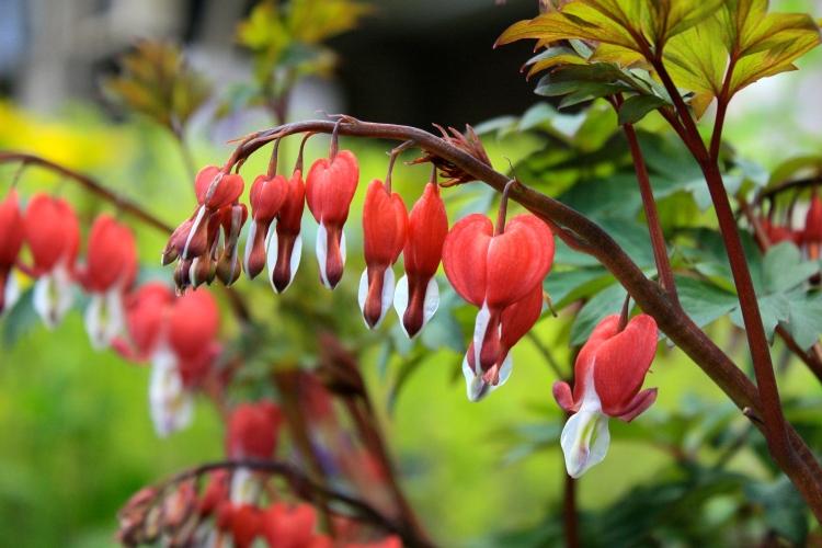 Dicentra spectabilis 'Valentine', Hardy's Plants, RHS Great London Plant Fair 2014