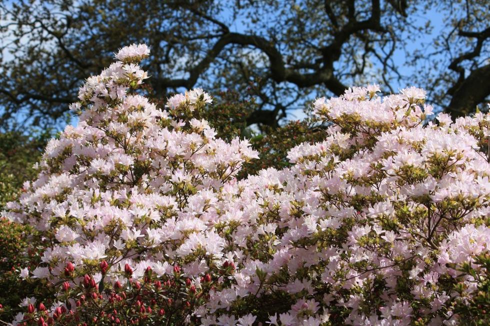 Pale pink azaleas, Sandling Park, May 2013