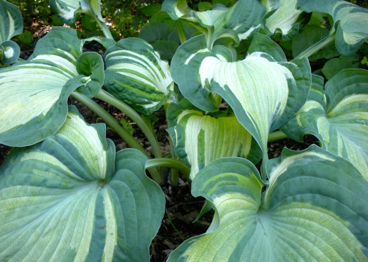 Hosta 'Guardian Angel', London, May 2014