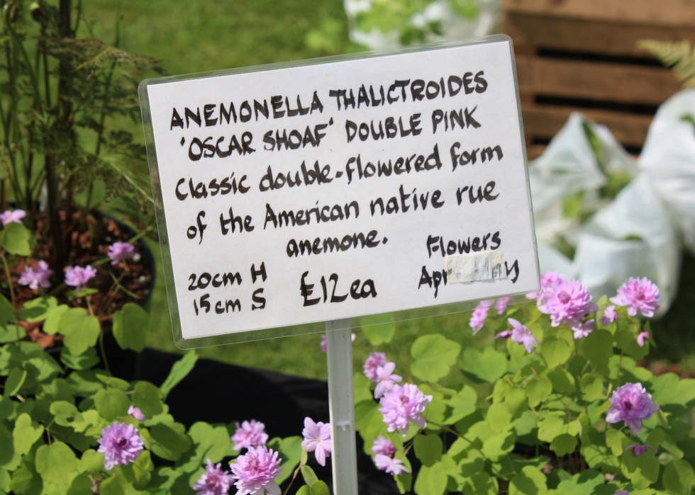 Anemonella thalictroides 'Oscar Shoaf', Saltwood Castle, May 2014