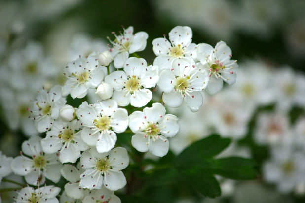 Pictures of small white flowers and their names shareimages daily flower candy crataegus monogyna the frustrated gardener mightylinksfo