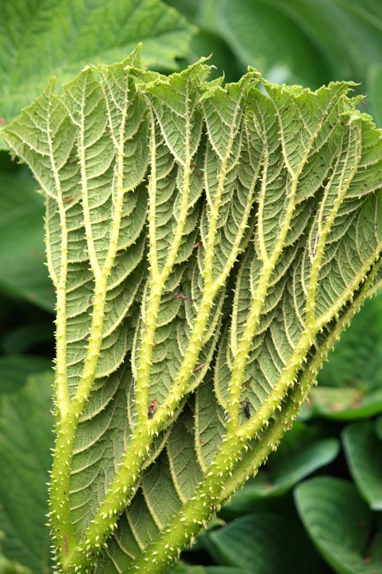 Gunnera manicata leaf, Sandling Park, May 2014
