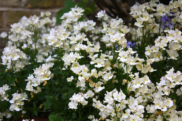 Nemesia 'Lady Vanilla', London, May 2014