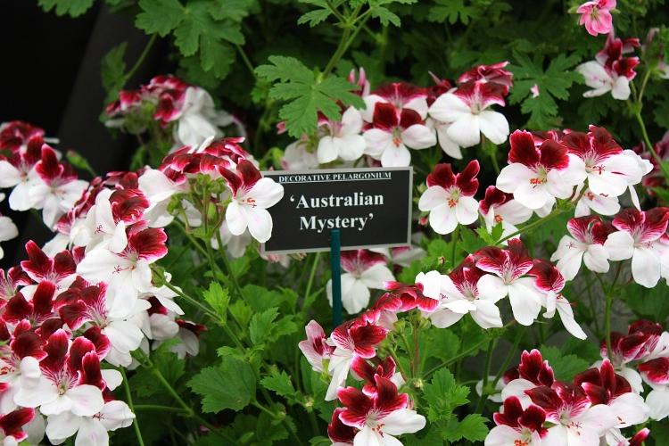 Pelargonium 'Australian Mystery', Fibrex Nursery, Chelsea 2014