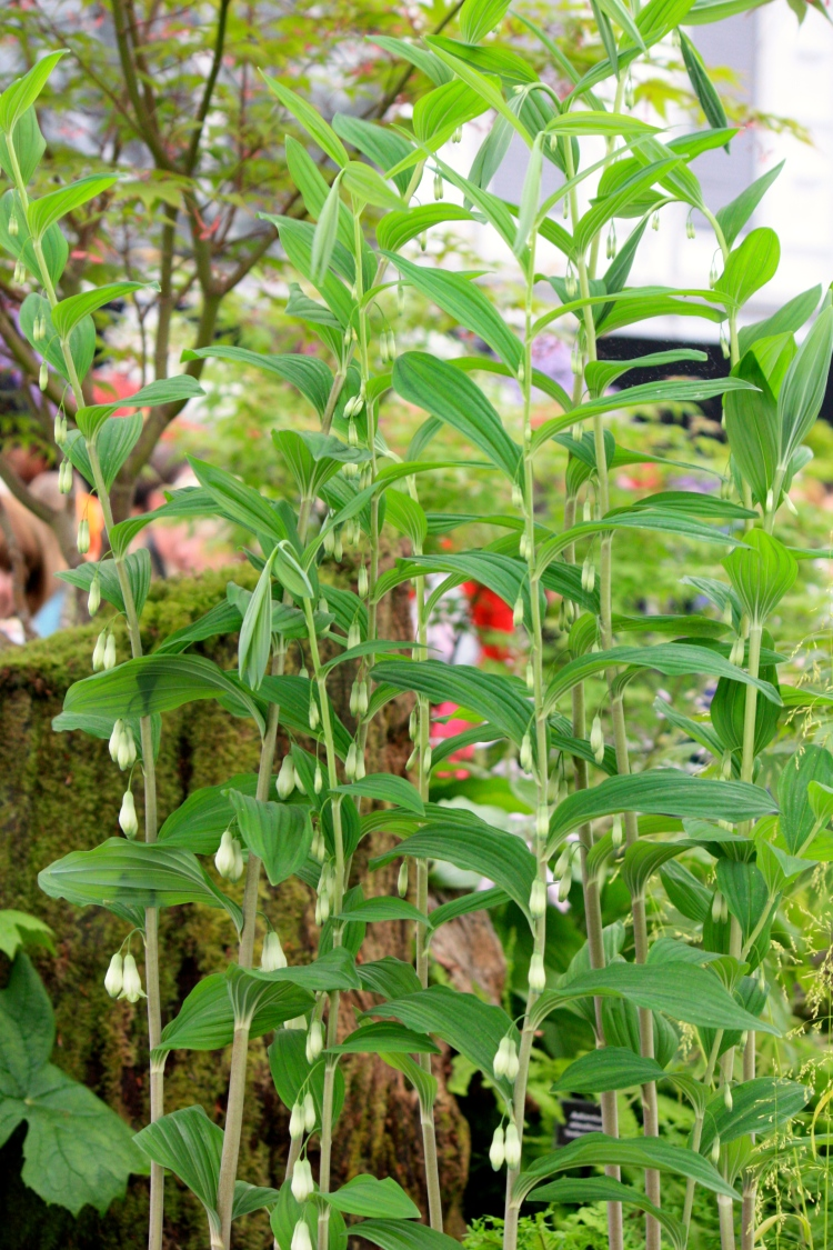 Polygonatum stenanthum, Tale Valley Nursery, Chelsea 2014