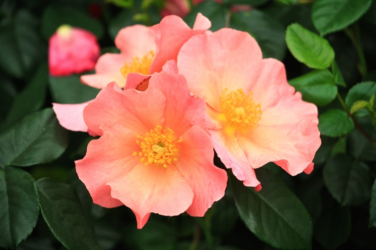 Rosa 'Simple Peach', Harkness Roses, Chelsea 2014