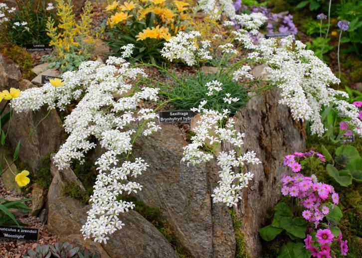 Saxifraga Byrnhyfryd Hybrid, Kevock Garden Plants, Chelsea 2014
