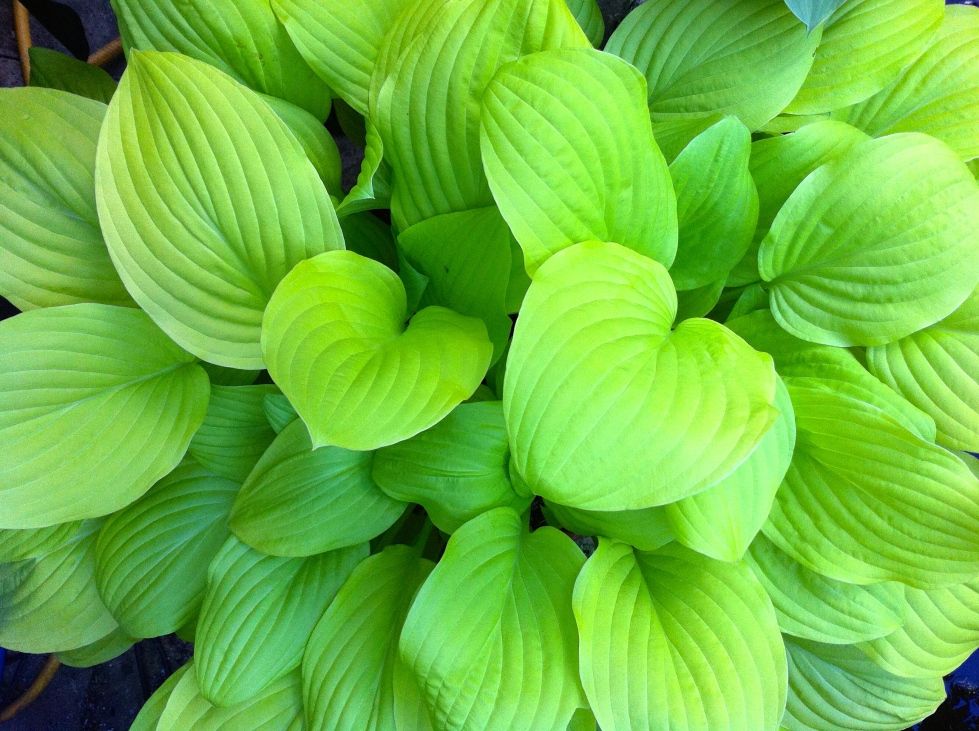 "Hosta fortunei ""Aurea"", London, May 2014"