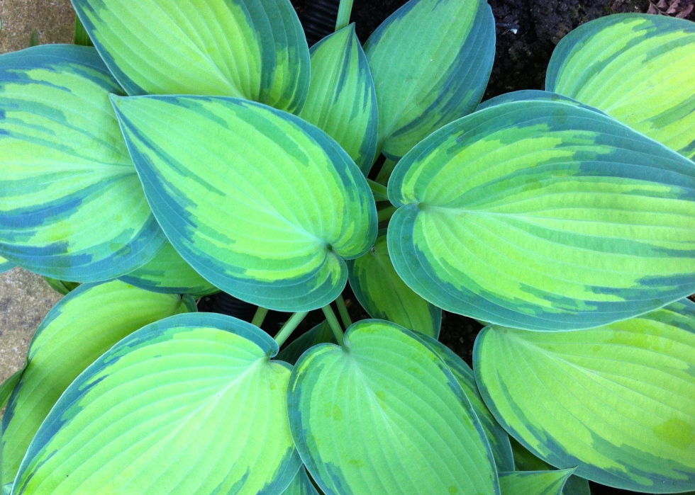 Hosta 'June', London, May 2014
