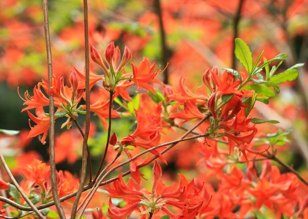Azalea calendulaceum, Sandling Park, May 2014