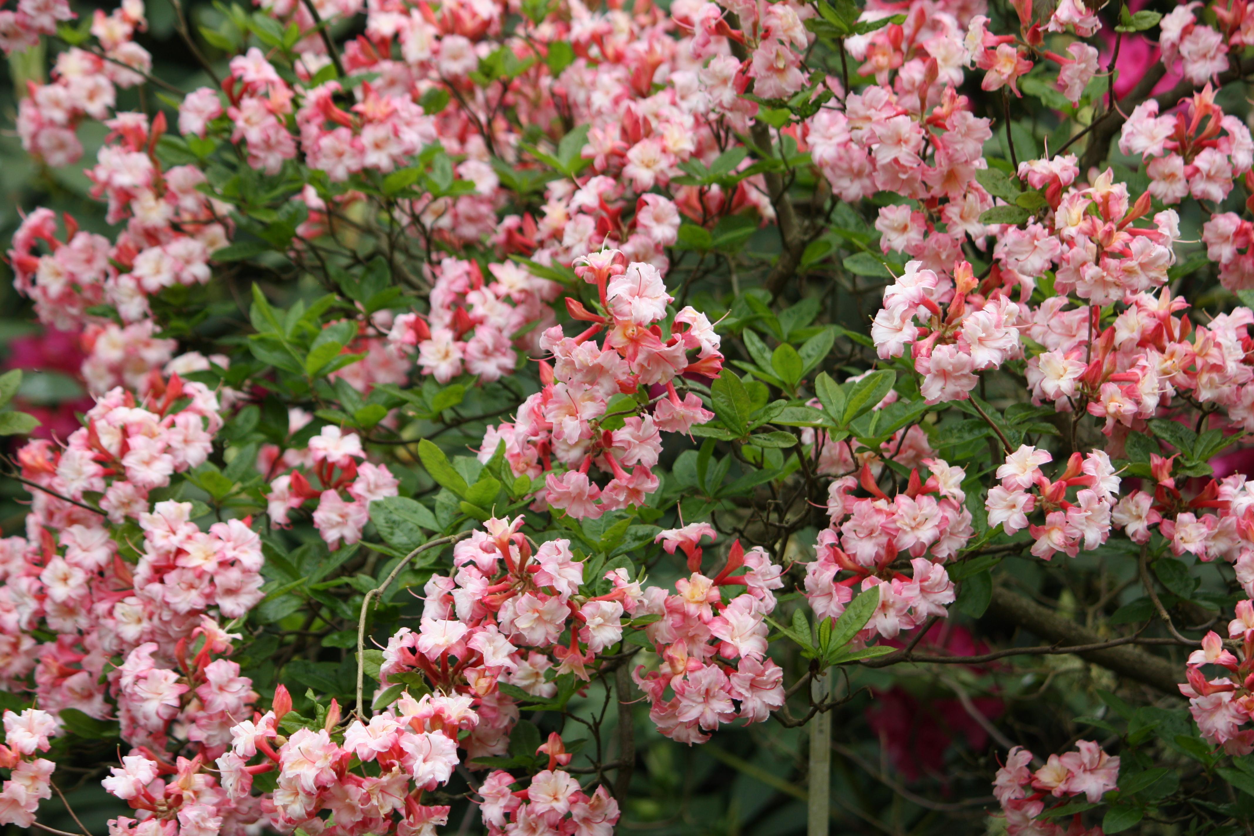 Names Of Pink Flowering Shrubs
