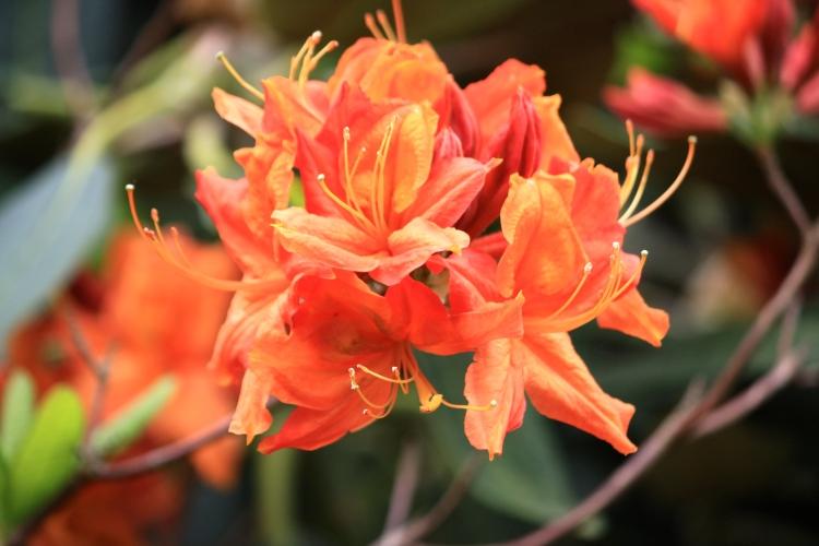 Rhododendron 'Favor Major', Sandling Park, May 2014