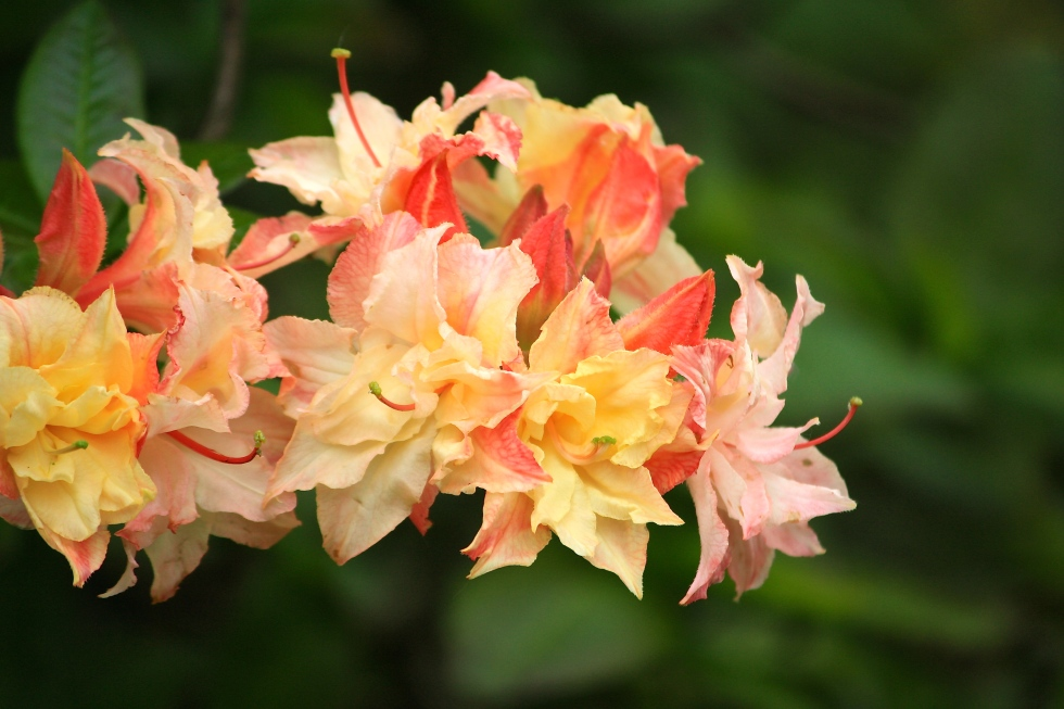 Rhododendron 'Cannon's Double', Sandling Park, May 2014