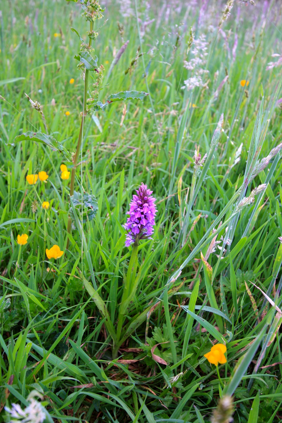 Orchids, the meadow, Trevoole Farm, June 2014