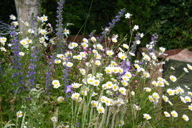 1 Hog Green, oxeye daisies and vipers bugloss, Elham, June 2014