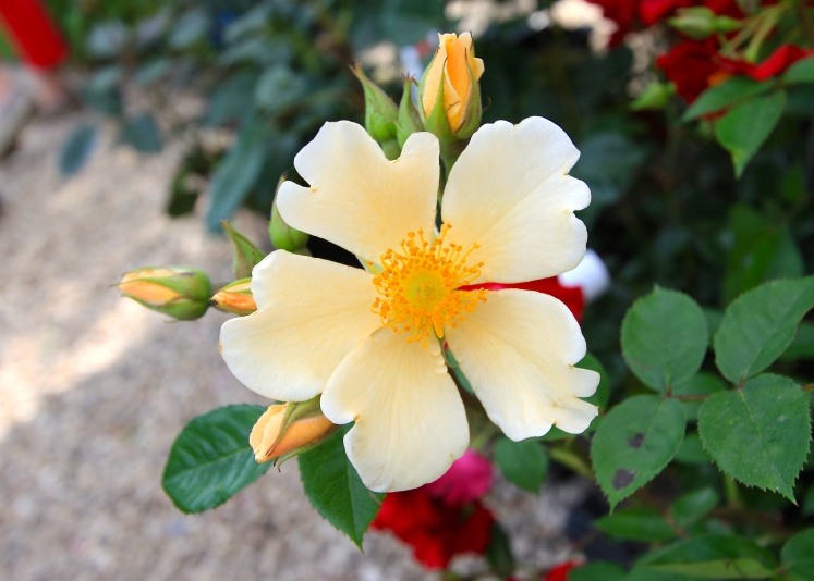 The pale yellow single flowers of Rosa 'Citronella' contrast well with the yellow stamens