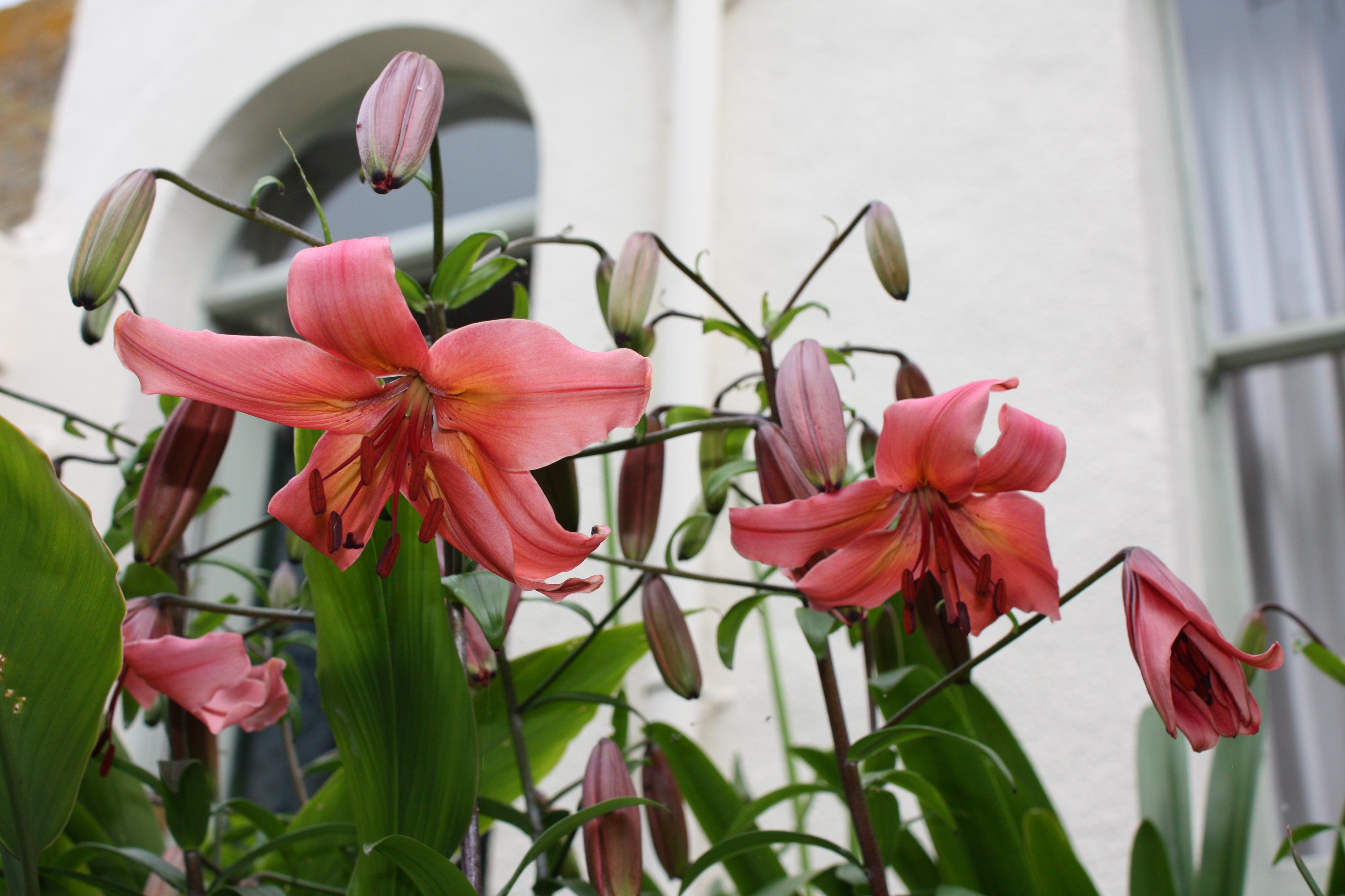 daily flower candy  lilium  u2018pink flavour u2019  u2013 the frustrated gardener